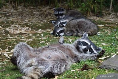 raccon belly